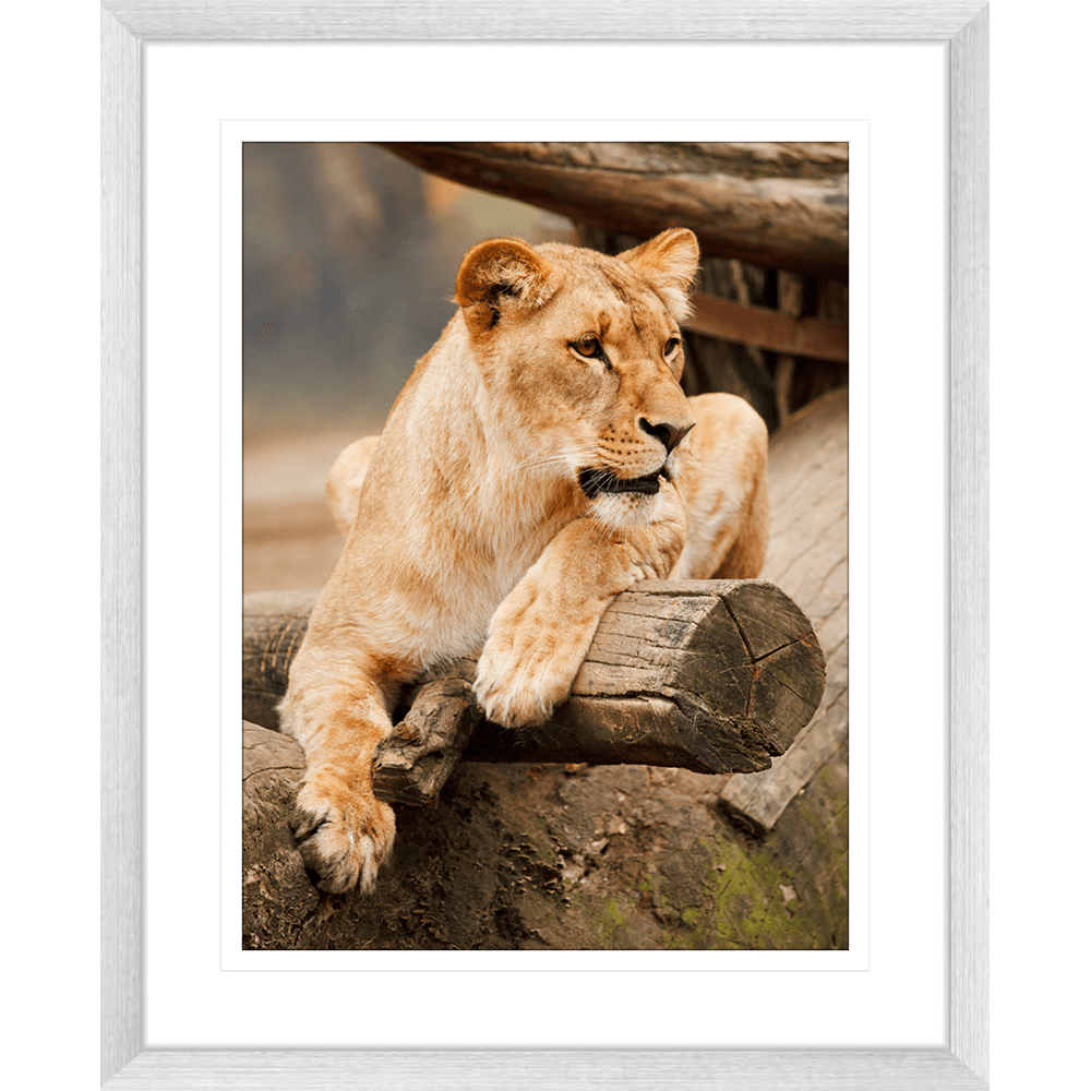 Toto African Animals 06 - Framed Art Print