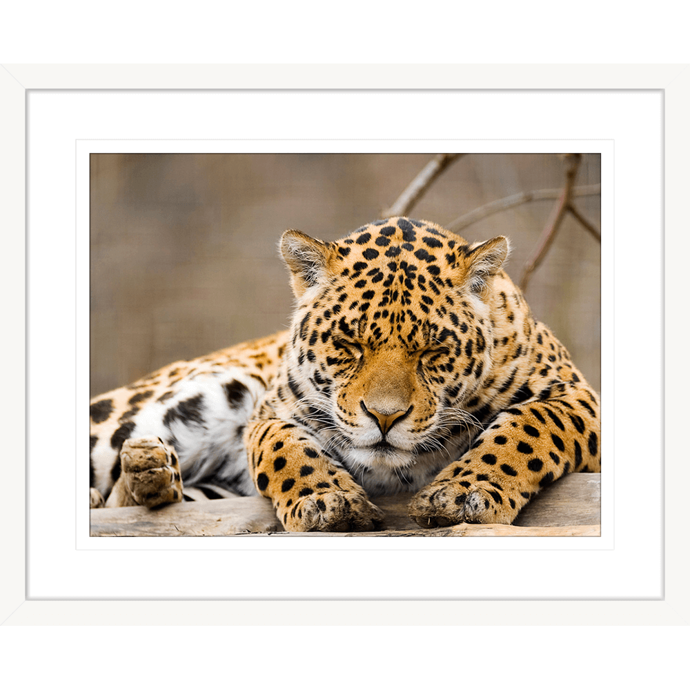 Toto African Animals | Framed Art | Wall Art Gold Coast | Wallpaper | Innovate Interiors