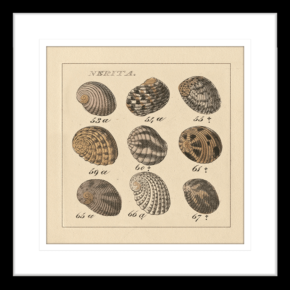 'Nertia' Shell Study | Framed Art | Wall Art Gold Coast | Wallpaper | Innovate Interiors