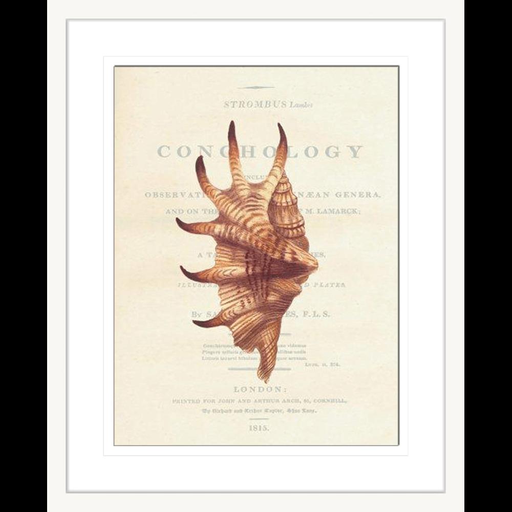 'Stromb II' Conchology | Framed Art | Wall Art Gold Coast | Wallpaper | Innovate Interiors